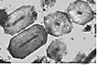 Granulovirus OBs.