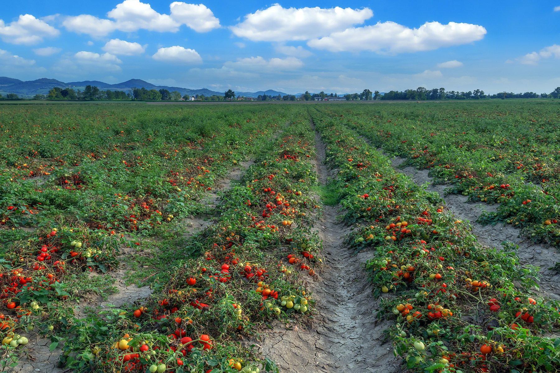 certis-LG-tomato-field